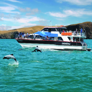 dolphin watching with black cat cruises in christchurch