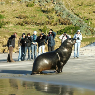 Sealion sighting in Dunedin by Elm Wildlife Tours