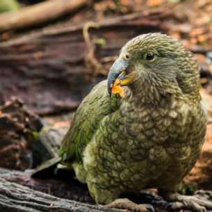 New Zealand's native parrot - Kakapo